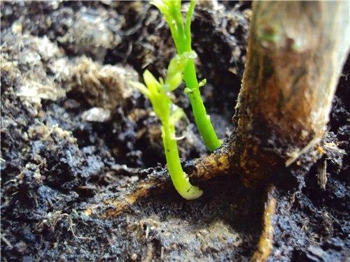 Когда и как удалять корневую поросль?