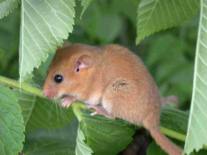 Этот забавный маленький зверек, так похожий то ли на белочку, то ли на хомячка, называется орешниковая соня (лат. Muscardinus avellanarius).
