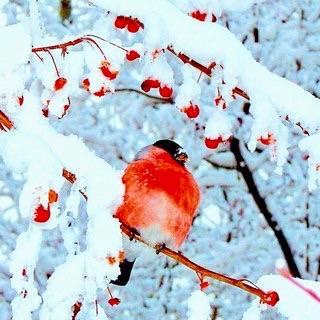 Считается, что снегирь приносит богатство и счастье( примета).