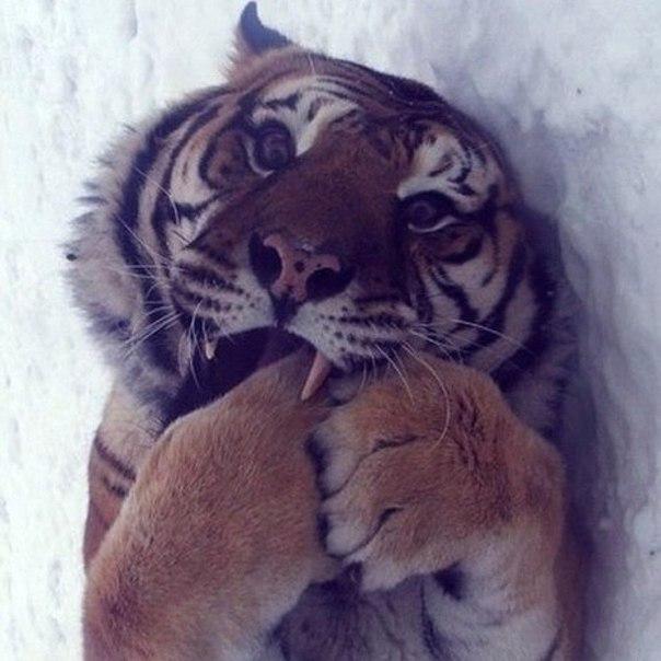 Тигры - они тоже котики