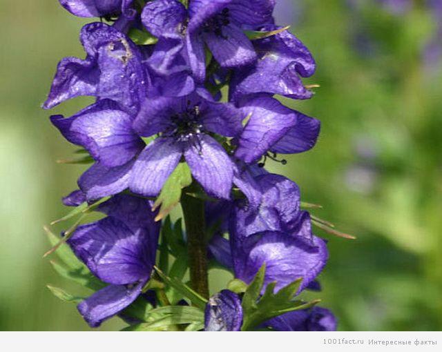 Милый и ядовитый цветочек аконит