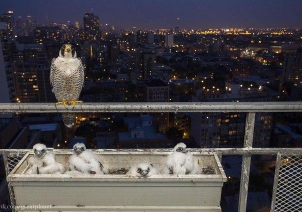 Однажды на балкон 28го этажа кондоминиума в Чикаго залетел сапсансокол