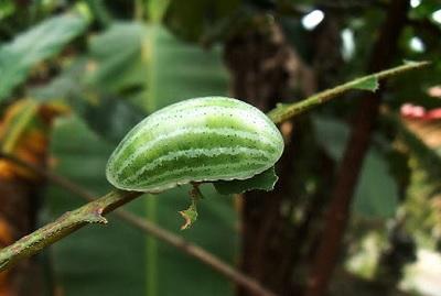 Гусеница - арбуз