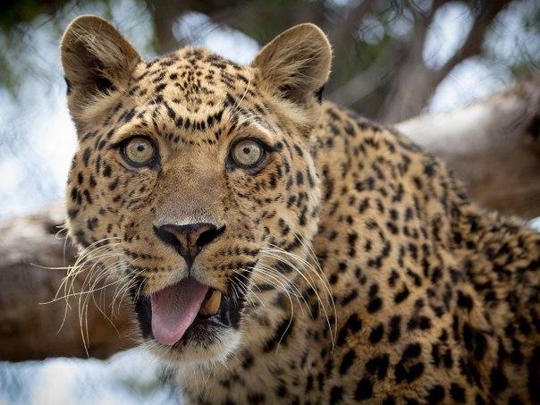 Фотогеничный леопард