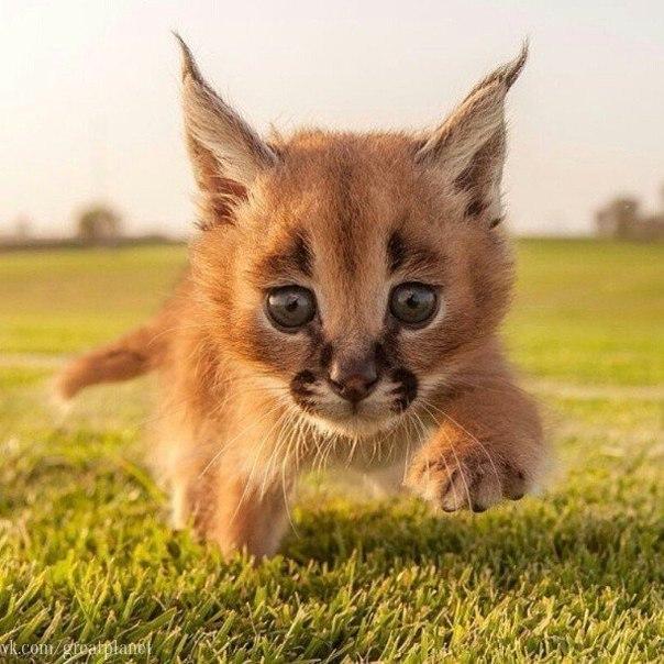 Котенок степной рыси.