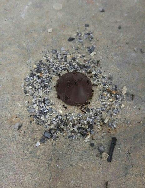 Конфета упала, а муравьи сделали её своим храмом и обнесли каменной стеной