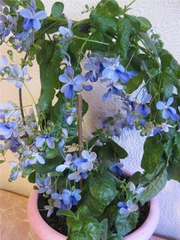 Клеродендрум угандийский, или Голубые бабочки
