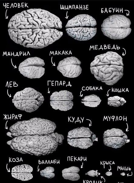 Сравнение размеров мозга.