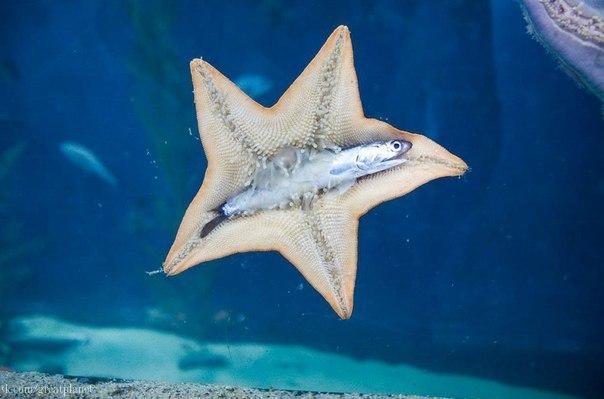 Ничего необычного, просто морская звезда ест анчоуса.