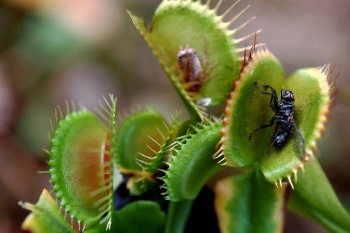 Дионея - насекомоядное растение.