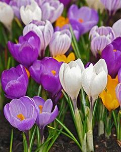Сбор заказов.Тюльпаны к 8 марта. Весенние цветы в горшочках ( крокусы, гиацинты,гортензия,ландыши,гвоздика ,примула )