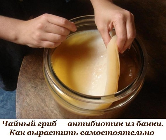 Чайный гриб антибиотик из банки. Как вырастить самостоятельно