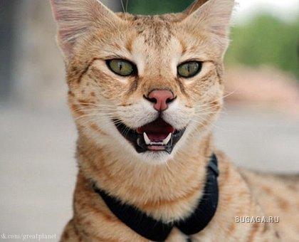 Редкая порода домашних кошек...