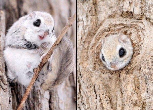Сибирская белка-летяга :)