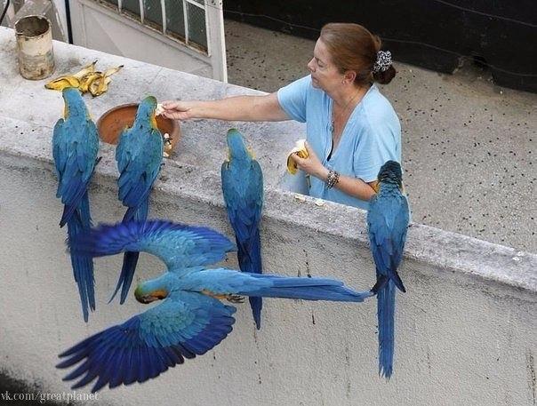 Женщина подкармливает попугаев ара на балконе своей квартиры в районе Лос Палос Грандес в Каракасе