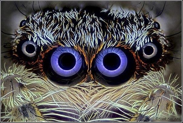 Пристальный взгляд паука-скакунчика