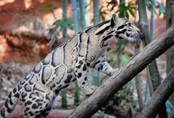 Великолепный дымчатый леопард