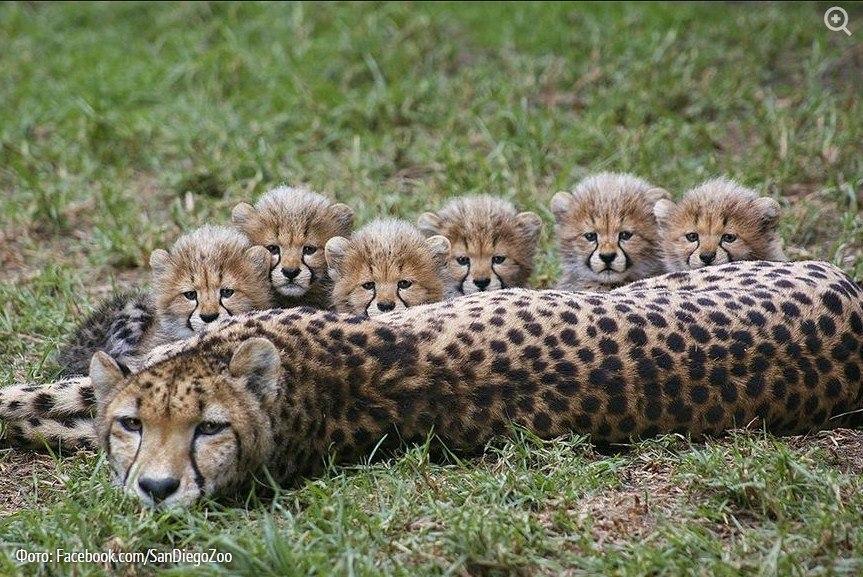В конце прошлого года в зоопарке Сан-Диего на свет появилось шесть гепардов.