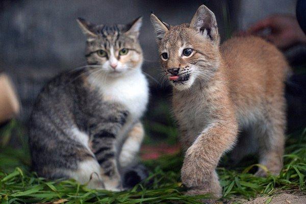 В зоопарке Новосибирска домашняя кошка выкормила рысь, от которой при рождении отказалась мать.