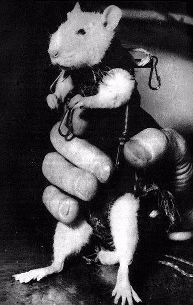 Крыса Гектор первый французский астронавт, 1961 год