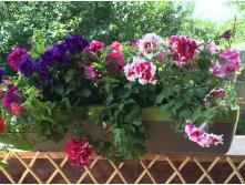 Рассада петунии, виолы, других цветов. Многолетники