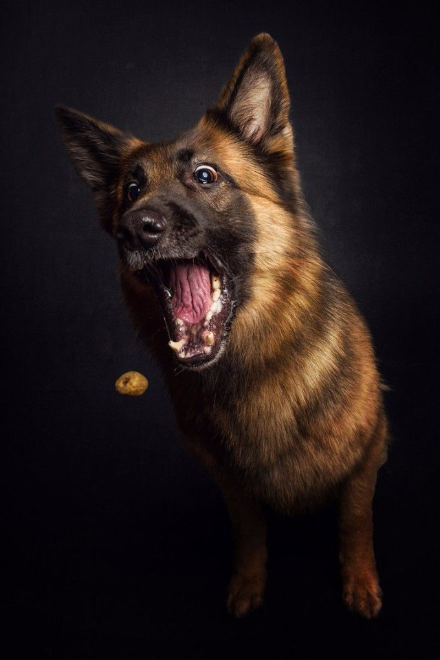 Веселые фотографии собак, пытающихся поймать летящие угощения.