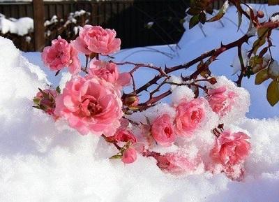 Снежные розы