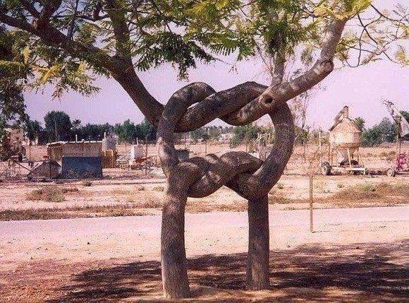 Два дерева сросшиеся удивительным способом.
