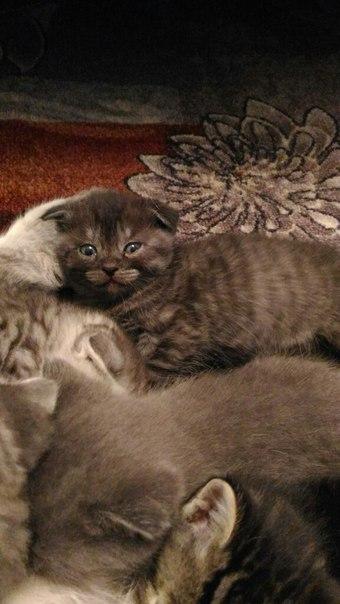 Пристраиваю Шотландских котят. Дымчатый и черный в полоску