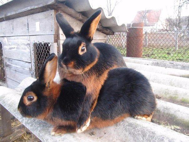 Черно-бурые зайцы.