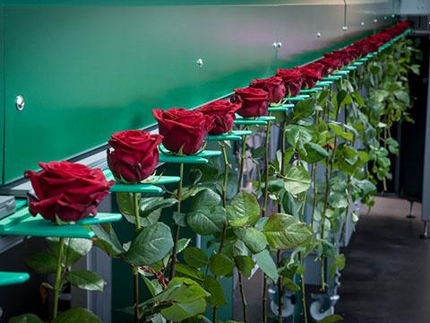 Поставки свежей розы.