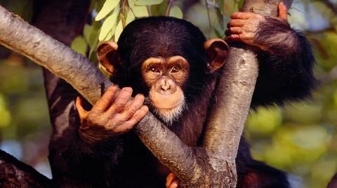 Сенсация: шимпанзе в Африке демонстрируют зачатки религии?!