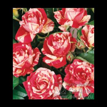 ЭКСПРЕСС СБОР!!! Семенной картофель, лук-севок, саженцы роз, клематисов, лиан. Агрофирмы Седек. Выкуп 1