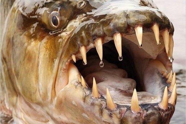 Большая тигровая рыба живёт в бассейне реки Конго (Африка).