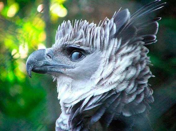 Гарпия - одна из самых красивых птиц