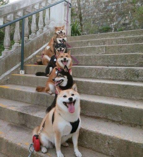Лестница из собак-улыбак!