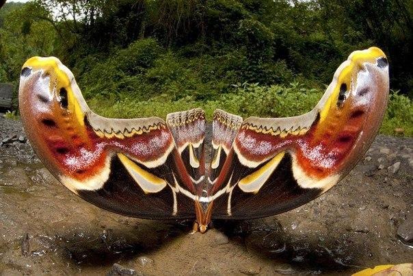 Бабочка с размахом крыла в 25 сантиметров