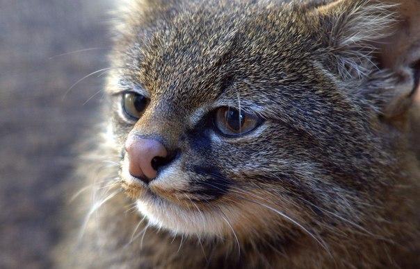 Пампасский кот