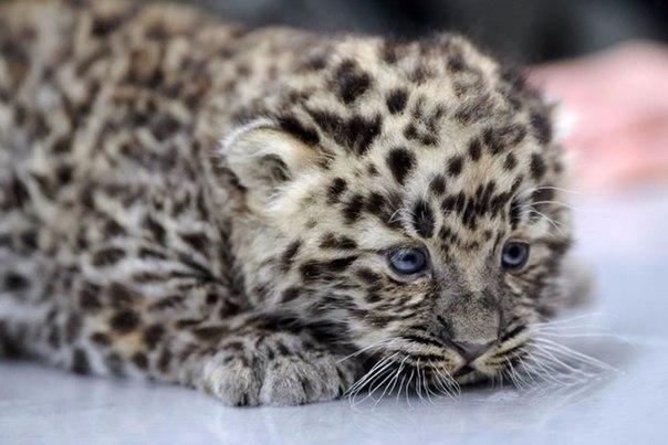 В мире осталось всего 60 амурских леопардов