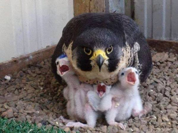 Сапсан на защите потомства