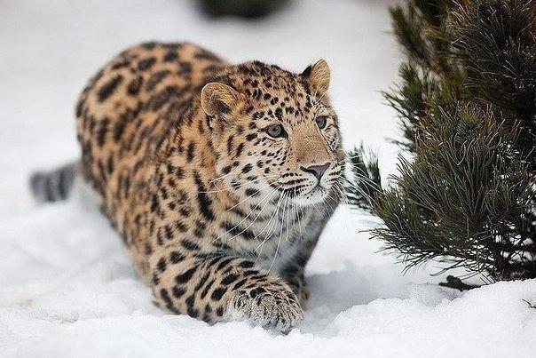 Исчезающий вид Дальневосточный леопард