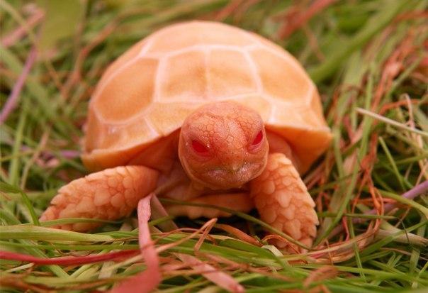 Редкий кадр: шпороносная черепаха - альбинос