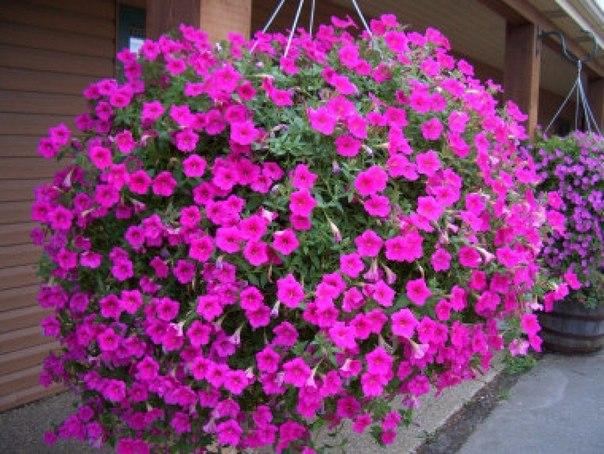 Чем и как удобрять петунии. Только обильное цветение!