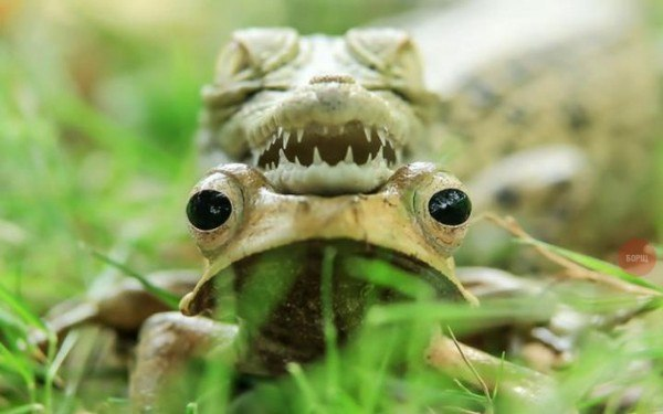 Главное не шевелиться. Детёныш крокодила в Индонезии отдыхает на солнце, положив голову на яванскую квакшу
