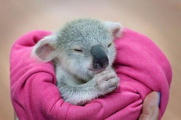 Детеныш коалы.