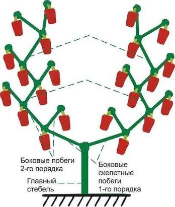 ФОРМИРУЕМ ПЕРЕЦ ПРАВИЛЬНО