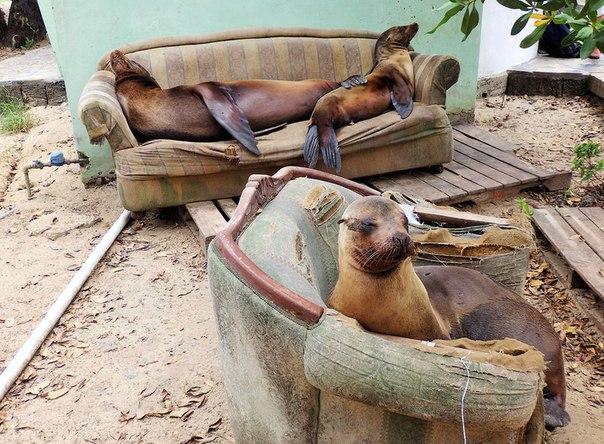 Послеобеденный отдых тюленей на острове Изабелла, Галапагосские острова.