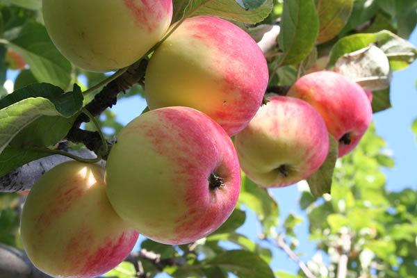 Плодовые в красочной упаковке от агрофирмы Поиск