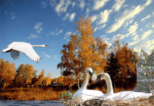 Лебединые пары