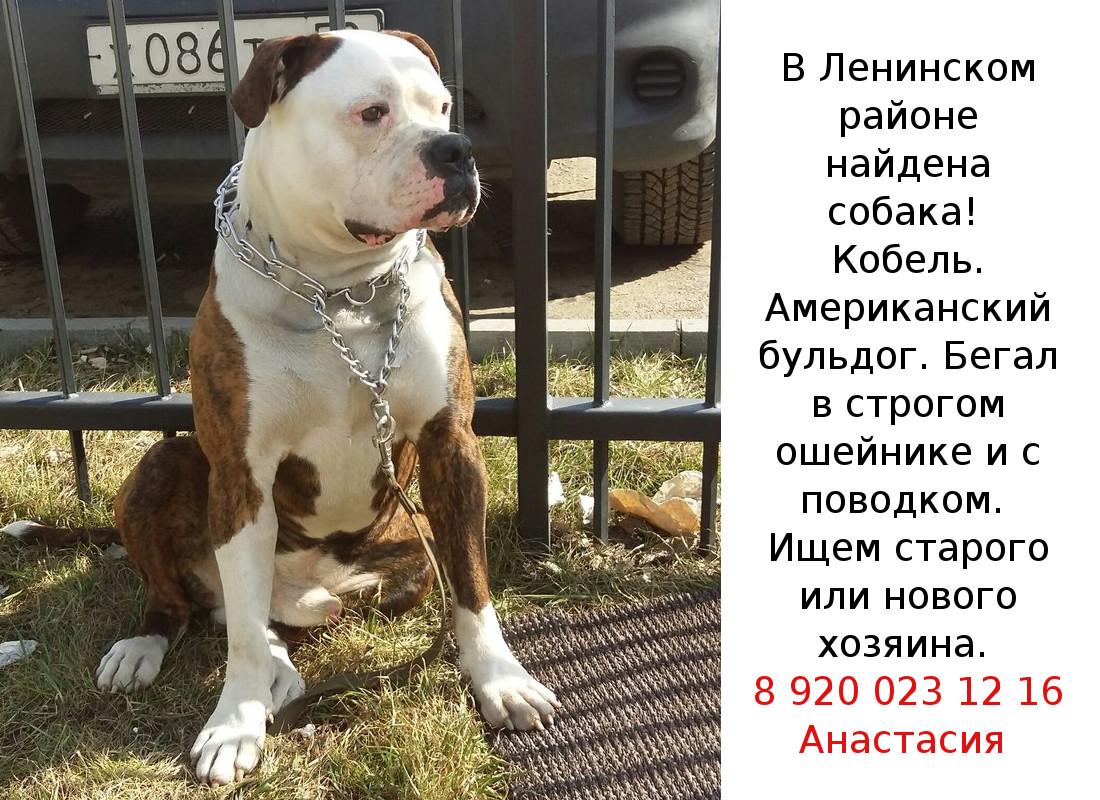Найдена собака! Американский бульдог, домашний, ухоженный, бегал в ошейнике с поводком в Ленинском районе. Посмотрите, может кто знает хозяев!